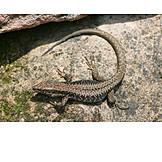Lizard, Sand lizard
