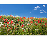 Spring, Poppy, Flower Meadow