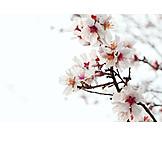 Spring, Blossom, Cherry blossom, Cherry branch