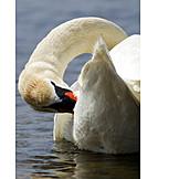 Swan, Mute swan, Plumage care