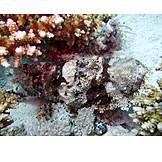 Scorpionfish, Lionfish, Red dragon head