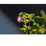Blossom, Ipomoea