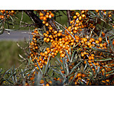 Buckthorn, Sea, Buckthorn