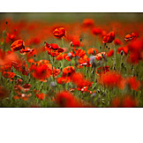 Poppies, Poppy flower