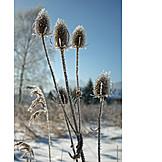 Winter, Frost, Dipsacus