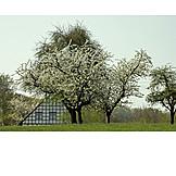 Cherry Tree, Spring