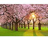 Cherry tree, Japanese cherry trees