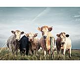 Cow, Cow Herd