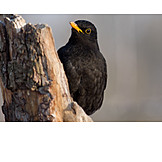 Bird, Blackbird