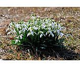 Spring, Snowdrop