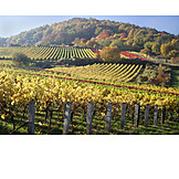 Autumn, Vineyard, Wine Field