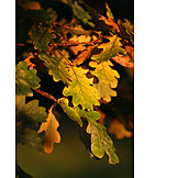 Autumn leaves, Autumn, Oak leaf