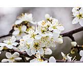 Blossom, Cherry blossom, Flowering