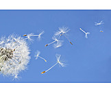 Dandelion, Dandelion, Pollen