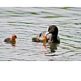 Water birds, Coot