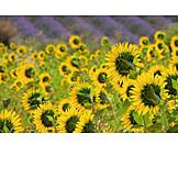 Sunflower, Sunflower field, Provence