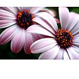 Gerbera, Gerbera blossom