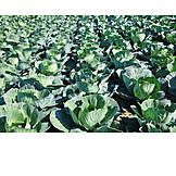 Cabbage, Gardening, White cabbage, White cabbage field