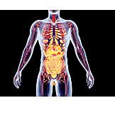 Anatomie, Medizinische Grafik, Organsystem