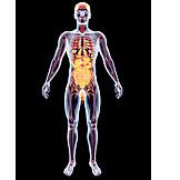Medical Illustrations, Internal Organ, Human Internal Organ