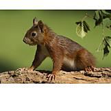 Wildlife, Red Squirrel