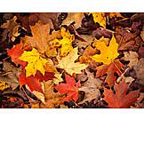 Autumn, Leaf, Autumn Leaves, Maple Leaf