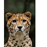 Cheetah, Animal portrait