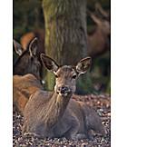 Doe, Deer hind