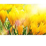 Frühling, Krokus, Krokusblüte