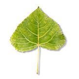 Poplar tree, Poplar leaf