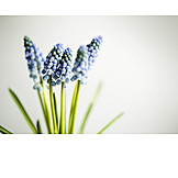 Spring, Grape Hyacinth