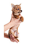 Care & Charity, Puppy, Chihuahua