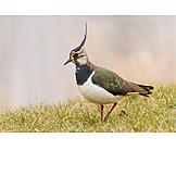 Lapwing, Bird