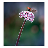Lady beetle, Bergenia