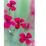 Carnation, Carnation