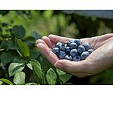 Harvest, Blueberries