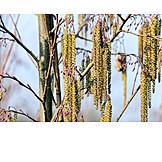 Inflorescence, Alder tree