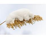 Winter, Snow, Reed