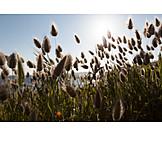 Grass family, Lagurus ovatus