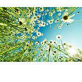 Worm's eye view, Flower, Flower meadow, Chamomile