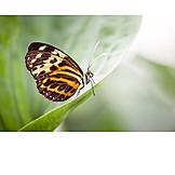 Butterfly, Satyrinae