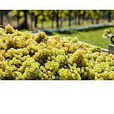 Wine, Grape, Harvest, Vintage