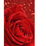 Rose, Romantic