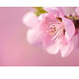 Pink, Tree blossom, Peach blossom