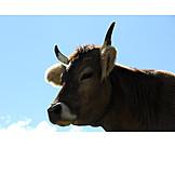 Cow, Cow head