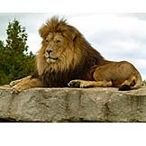 Wildlife, Predator, Lion
