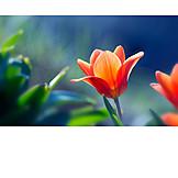 Nature, Tulip