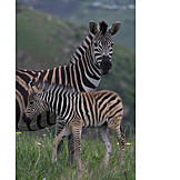 Animal family, Zebra