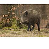 Wild sow, Wild boar