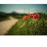 Poppy, Poppies, Poppies flowers